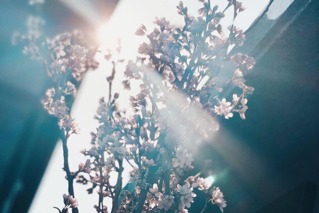 隆勝寺 桜